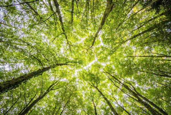 forêt grands arbres verts
